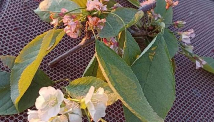 Yalancı bahara aldanan kiraz ağacı çiçek açtı: Sanki kesme diye yalvardı